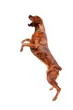 Giovane cane pugile/di razza mista che salta all'aria (con un certo mosso) Fotografie Stock