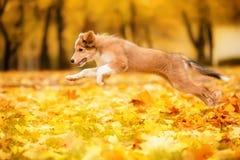 Giovane cane rosso di border collie che corre con le foglie in autunno immagini stock libere da diritti
