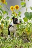 Giovane cane sotto i girasoli Immagine Stock