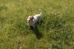 Giovane cane sveglio divertendosi in un parco all'aperto con la sua lingua fuori Fotografia Stock Libera da Diritti
