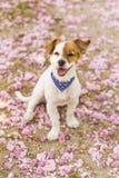 Giovane cane sveglio divertendosi in un parco all'aperto Il tempo di primavera… è aumentato foglie, sfondo naturale Colore rosa Fotografia Stock