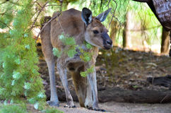 Giovane canguro Fotografie Stock