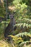 Giovane canguro Fotografia Stock