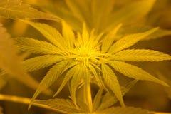 Giovane cannabis del fiore Immagini Stock Libere da Diritti