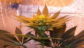 Giovane cannabis del fiore Immagine Stock