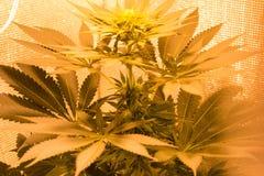 Giovane cannabis del fiore Fotografia Stock Libera da Diritti