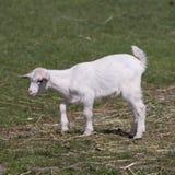 Giovane capra Fotografie Stock Libere da Diritti