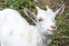 Giovane capra Immagini Stock Libere da Diritti