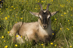 Giovane capra. Immagine Stock