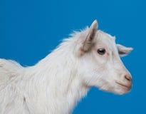 Giovane capra bianca immagine stock