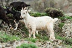Giovane capra bianca Fotografia Stock
