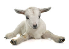 Giovane capra bianca Fotografie Stock