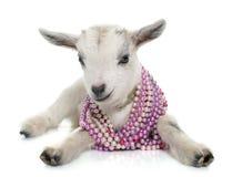 Giovane capra bianca Immagine Stock Libera da Diritti