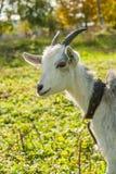 Giovane capra bianca all'azienda agricola o al ranch del villaggio Fotografia Stock Libera da Diritti