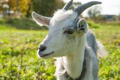 Giovane capra bianca all'azienda agricola o al ranch del villaggio Immagine Stock Libera da Diritti