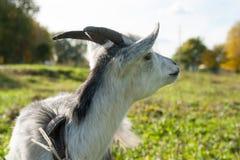 Giovane capra bianca all'azienda agricola o al ranch del villaggio Fotografie Stock Libere da Diritti