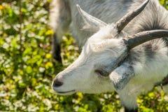 Giovane capra bianca all'azienda agricola o al ranch del villaggio Immagini Stock