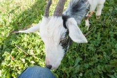Giovane capra bianca all'azienda agricola o al ranch del villaggio Fotografia Stock