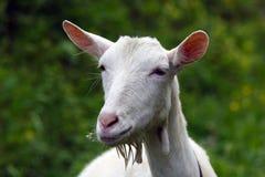 Giovane capra bianca con i fiori in bocca Fotografia Stock