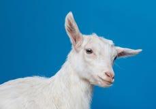 Giovane capra bianca felice immagini stock libere da diritti
