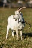Giovane capra che pasce in un prato Fotografia Stock Libera da Diritti