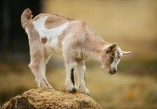 Giovane capra curiosa sulla roccia Immagine Stock