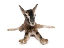 Giovane capra del Brown che si trova giù (vecchio 3 settimane) immagini stock libere da diritti