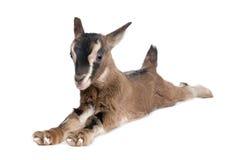 Giovane capra del Brown che si trova giù (vecchio 3 settimane) fotografie stock libere da diritti