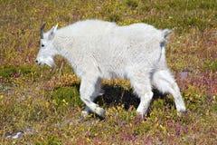 Giovane capra di montagna immagini stock libere da diritti