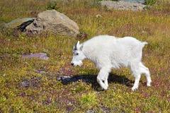 Giovane capra di montagna fotografie stock