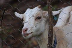 Giovane capra dietro il recinto Fotografia Stock Libera da Diritti