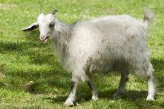 Giovane capra in giardino zoologico Immagini Stock Libere da Diritti