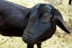 Giovane capra nera Fotografia Stock