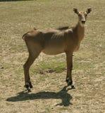Giovane capra selvaggia Immagine Stock