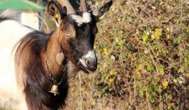 Giovane capra, tema degli animali domestici Immagini Stock Libere da Diritti