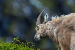 Giovane capricorno alpino maschio rilassato naturale di capra ibex che guarda a Fotografie Stock