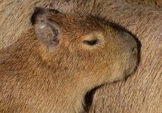 Giovane Capybara Fotografie Stock Libere da Diritti