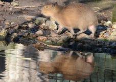 Giovane Capybara con la riflessione Fotografia Stock Libera da Diritti