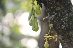 Giovane carambola verde dello starfruit di Wuluh immagini stock libere da diritti