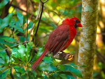 Giovane cardinale maschio 5 di HDR immagine stock
