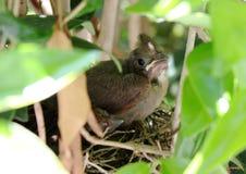 Giovane cardinale in nido Immagine Stock