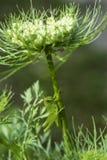 Giovane cavalletta verde in Florida Immagine Stock