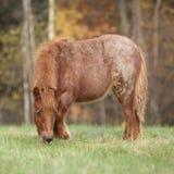 Giovane cavallino di Shetland in autunno Fotografie Stock