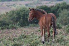 Giovane cavallino nel nuovo Forect fotografia stock libera da diritti