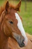 Giovane cavallo Fotografia Stock