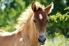 Giovane cavallo fotografie stock