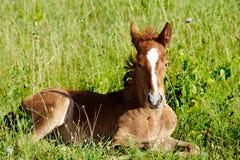 Giovane cavallo immagini stock libere da diritti