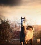 Giovane cavallo arabo al tramonto sul fondo del paese Fotografia Stock Libera da Diritti