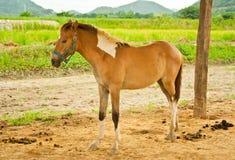 Giovane cavallo in azienda agricola, Tailandia Immagine Stock Libera da Diritti