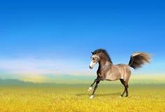 Giovane cavallo che galoppa attraverso il campo Fotografia Stock